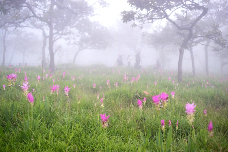 ชมทุ่งดอกกระเจียวบานสะพรั่ง และเที่ยวไทยหัวใจสีเขียวที่ชัยภูมิ